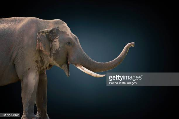 studio photograph of an african elephant  (loxodonta africana) - animal nose stock pictures, royalty-free photos & images