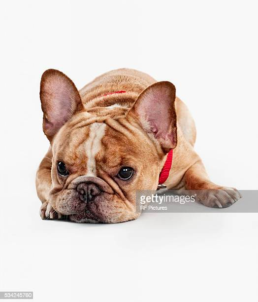 Studio photograph of French bulldog pup on white background