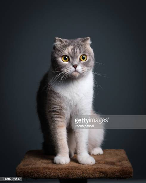 studio portrait of a cute purebred scottish fold cat sitting on a cat tree . - purebred cat stock pictures, royalty-free photos & images