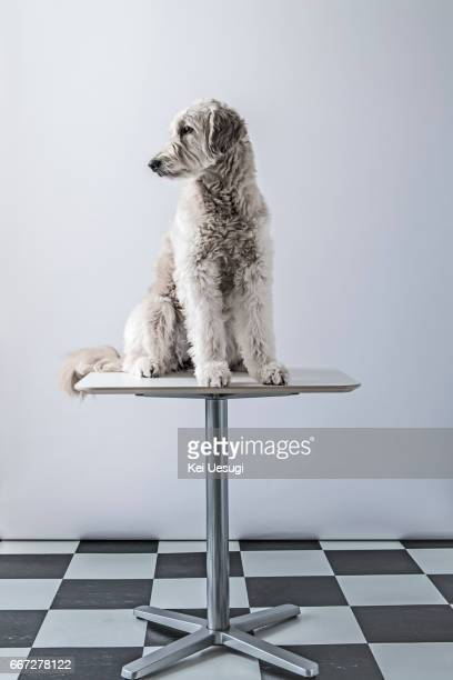 studio portrait of a dog