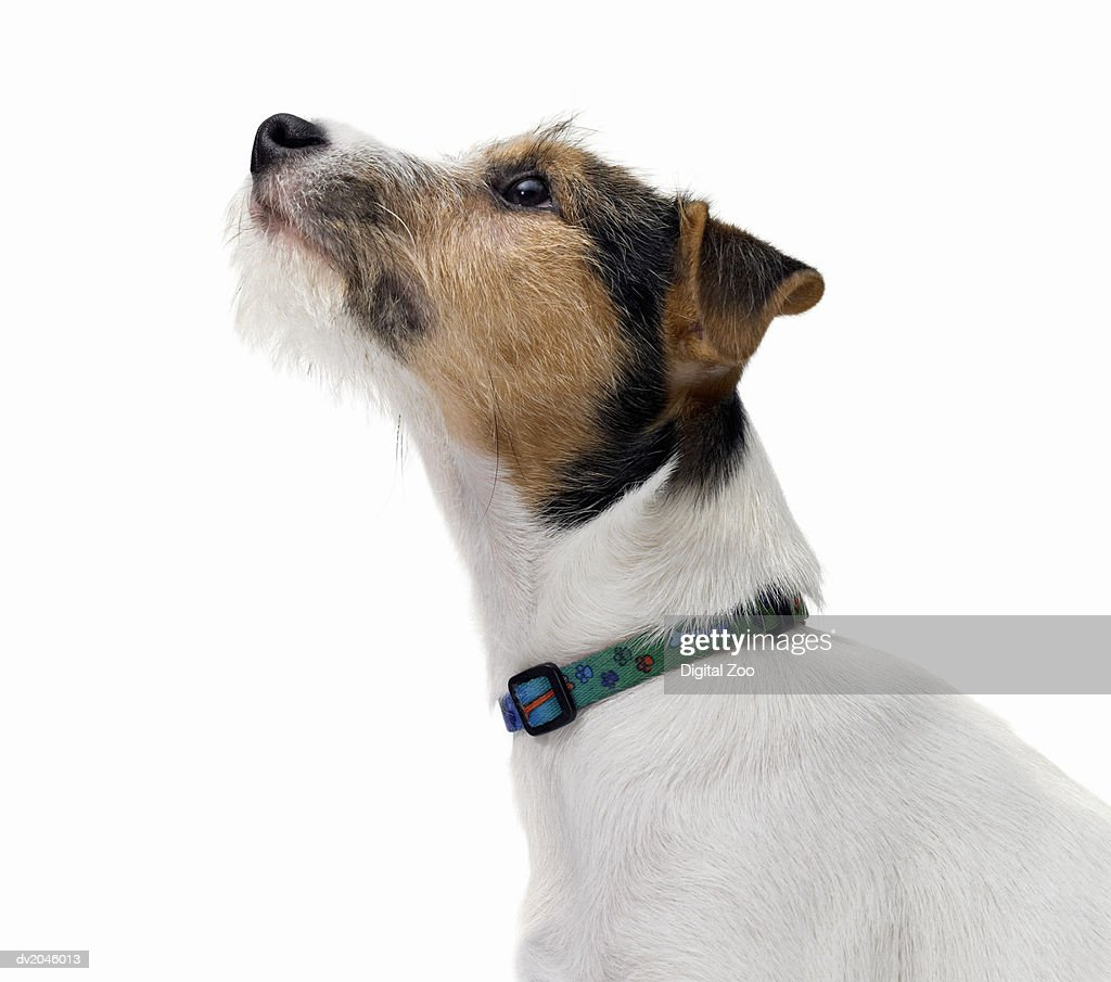 Studio Portrait of a Jack Russell : Stock Photo