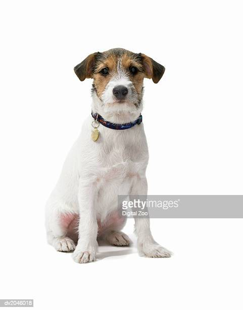 studio portrait of a jack russell - jack russell terrier photos et images de collection