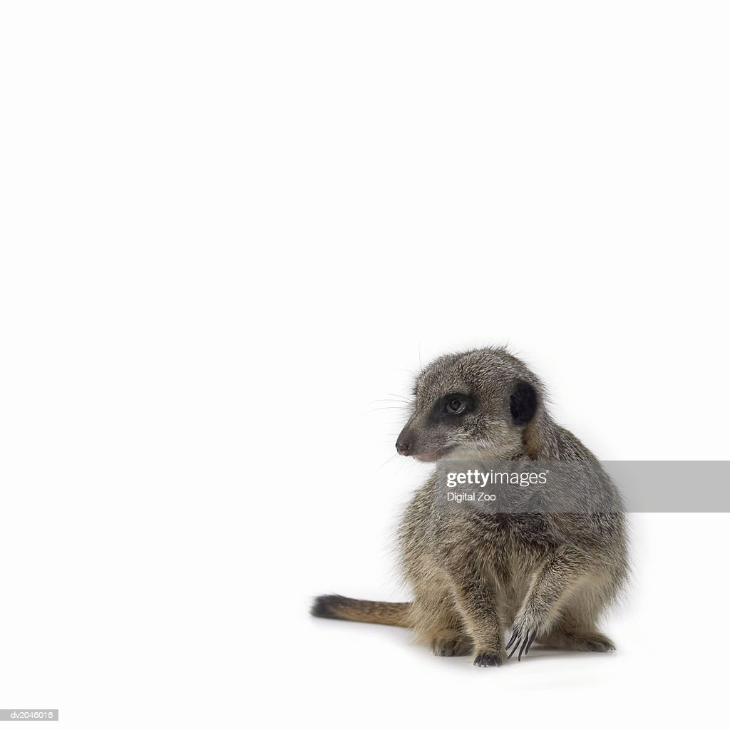 Studio Portrait of a Meerkat : Stock Photo
