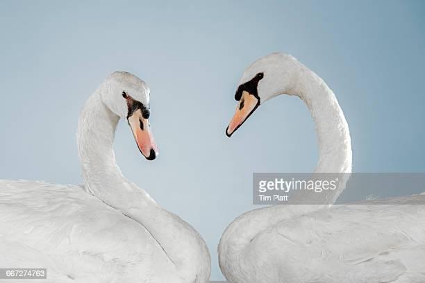 Studio portrait of a pair of white swans.