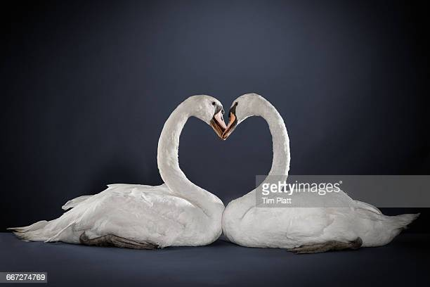 Studio portrait of a pair of white swans.