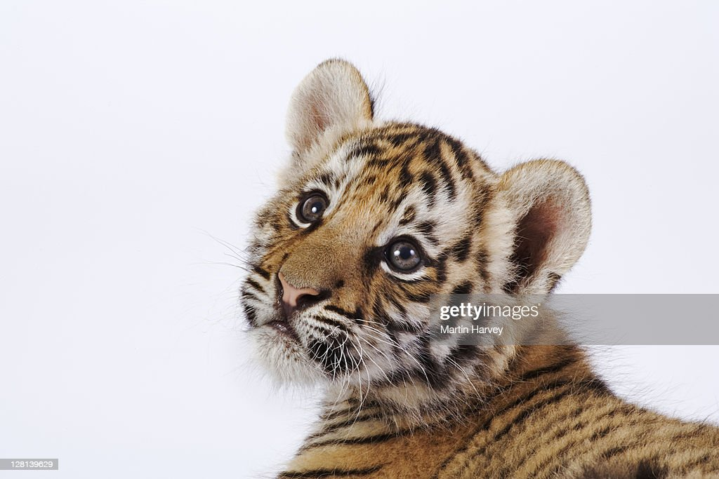 Studio portrait of a two month old Tiger cub, Panthera tigris. Dist. Asia but extinct in much of its range. (PR: Property Released) : Foto de stock
