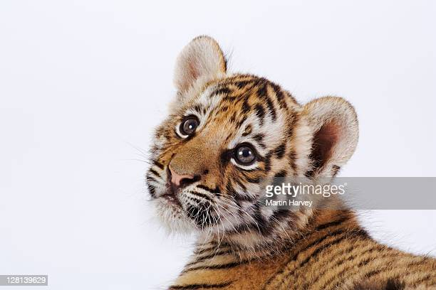 studio portrait of a two month old tiger cub, panthera tigris. dist. asia but extinct in much of its range. (pr: property released) - tiger cub stock photos and pictures