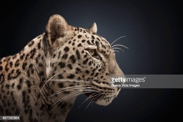 Studio portrait of an African leopard (Panthera pardus pardus)