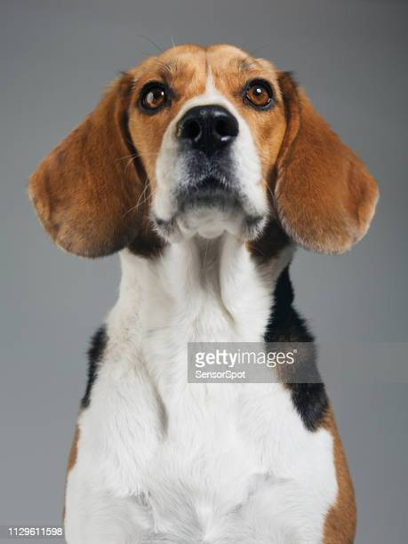 studio portrait of beagle dog against gray background - brown eyes stock pictures, royalty-free photos & images