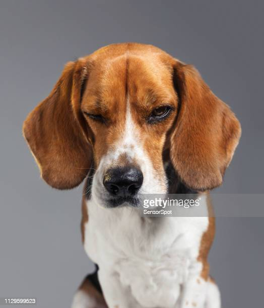 studio portrait of beagle dog with human expression looking grumpy - grumpy old man stock pictures, royalty-free photos & images