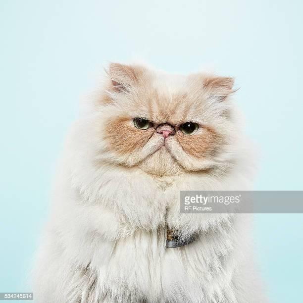 Studio portrait of cat