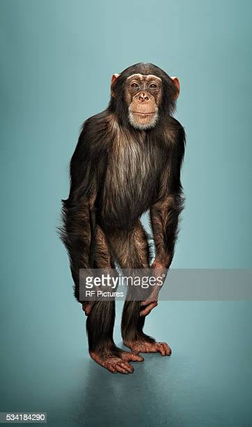 Studio portrait of chimp