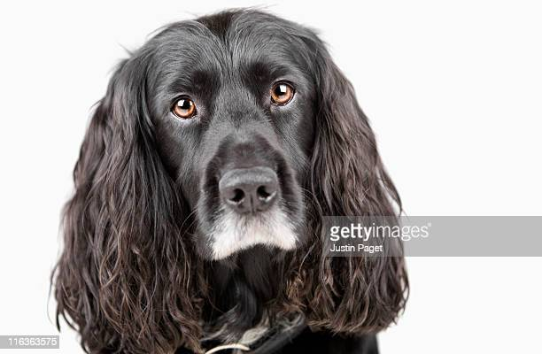 studio portrait of cocker spaniel - cocker spaniel stock photos and pictures