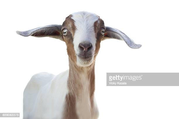 Studio portrait of cute goat against white background