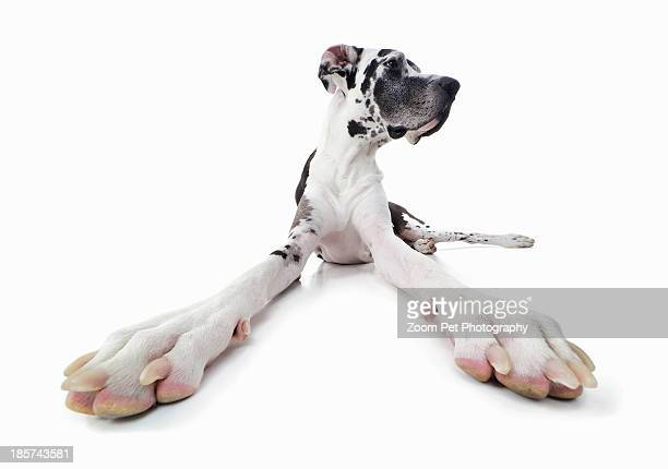 studio portrait of distracted great dane - great dane stock pictures, royalty-free photos & images