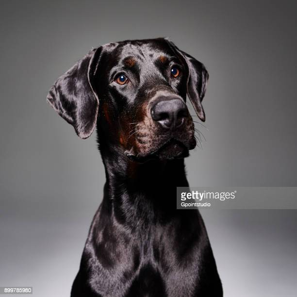 Studio portrait of doberman dog