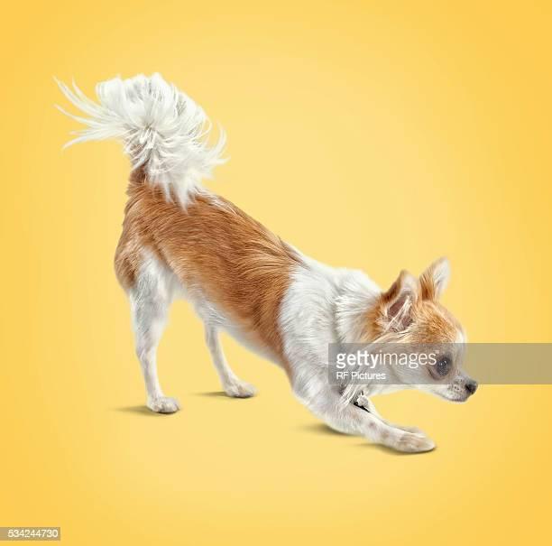Studio portrait of dog