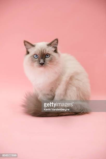 studio portrait of fluffy kitten