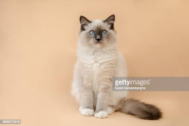 studio portrait of fluffy kitten - persian stock photos and pictures