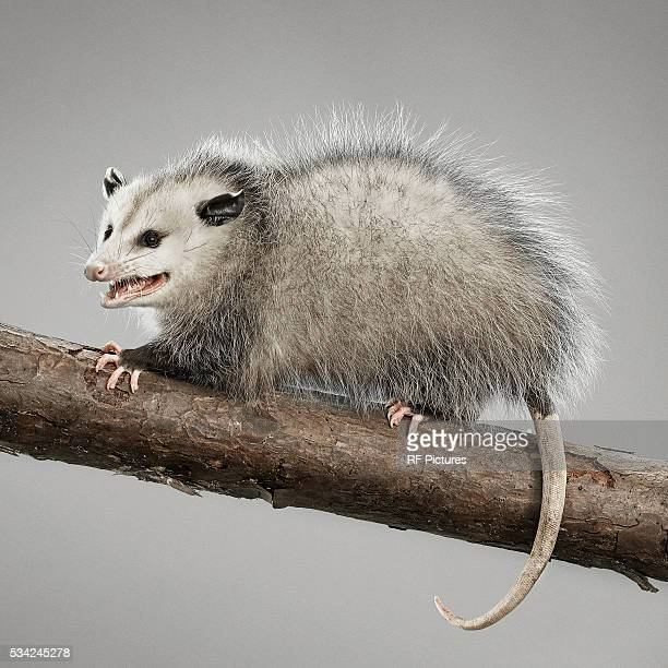Studio portrait of opossum
