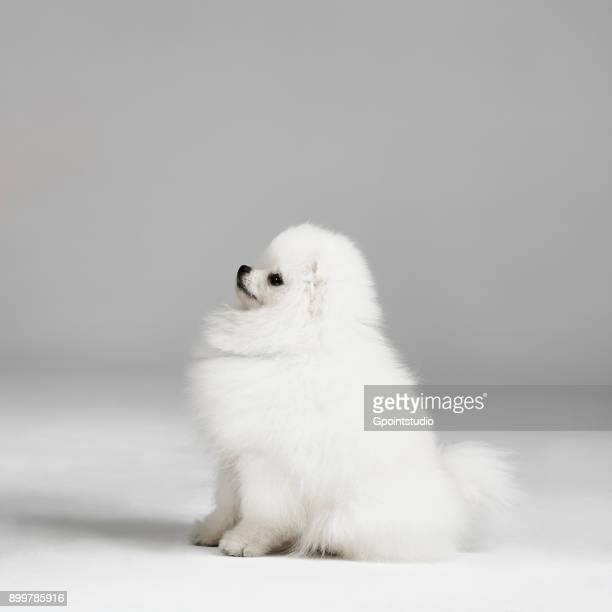 Studio portrait of pomeranian dog
