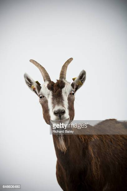 Studio portrait of Thuringian goat.