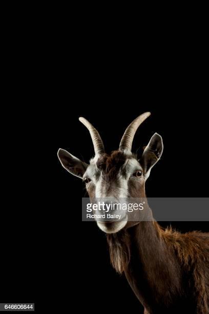 Studio portrait of Thuringian goat.