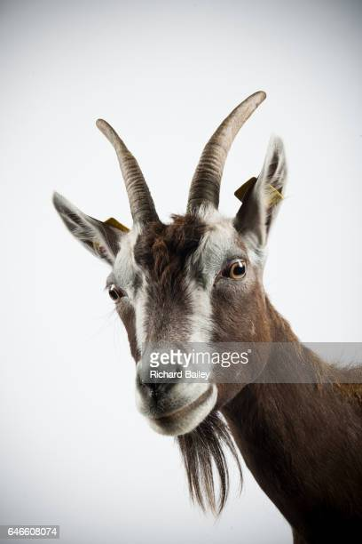 studio portrait of thuringian goat. - goats stock pictures, royalty-free photos & images