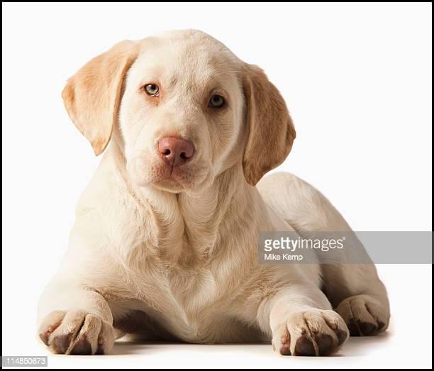 Studio portrait of Yellow Labrador Retriever