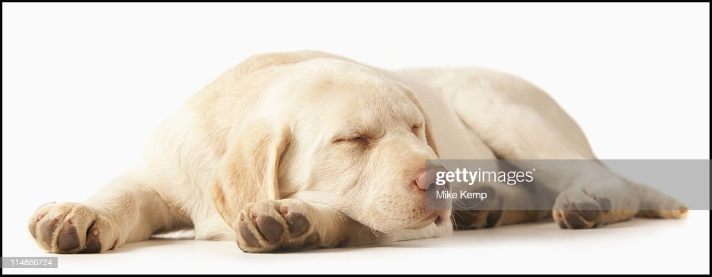 Studio portrait of Yellow Labrador Retriever : Stock Photo