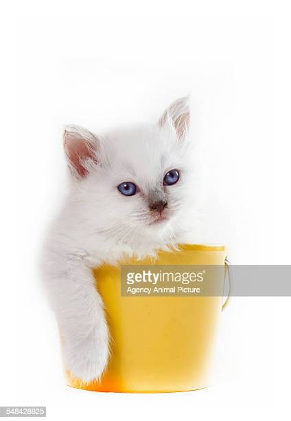 studio shoot of a birman cat kitten in a bucket - burmese cat stock pictures, royalty-free photos & images