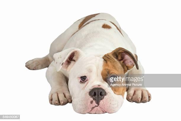 Studio shoot of a British bulldog