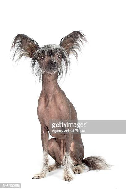 studio shoot of a chinese crested dog - chinese crested dog stock photos and pictures