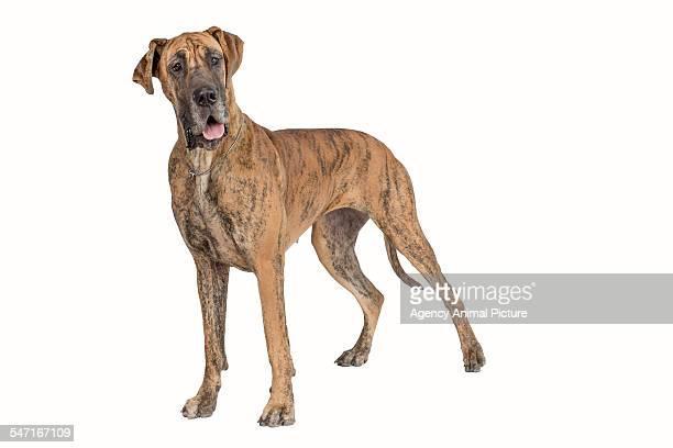 Studio shoot of a Grat Dane, a large dog breed
