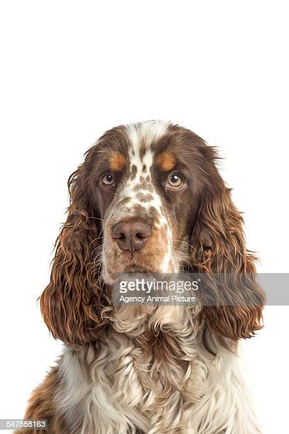 Studio shoot of a Russian Spaniel