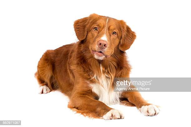 studio shoot of a toller - nova scotia duck tolling retriever stock pictures, royalty-free photos & images