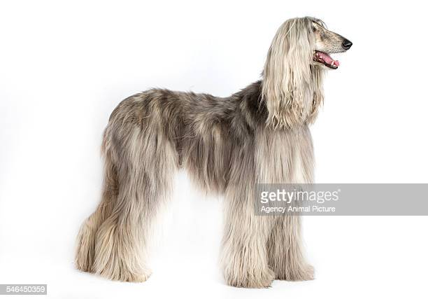 Studio shoot of an Afghan hound