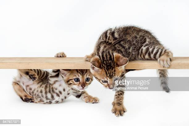 studio shoot of bengal cats, white background - bengal cat stock pictures, royalty-free photos & images