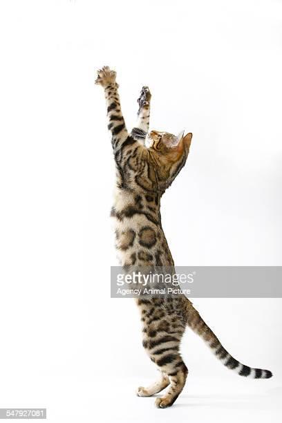 Studio shoot of Bengal cats, white background
