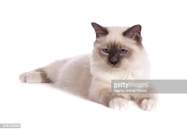 studio shoot of birman cats - burmese cat stock pictures, royalty-free photos & images