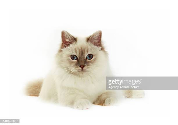 Studio shoot of Birman cats