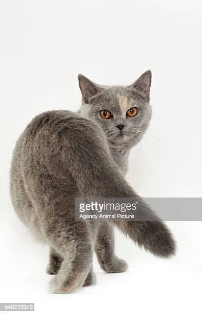 Studio shoot of British shorthair cats