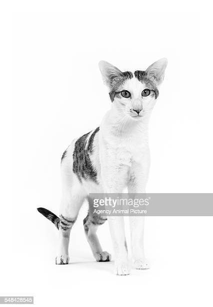 studio shoot of cat, black and white - oriental shorthair - fotografias e filmes do acervo