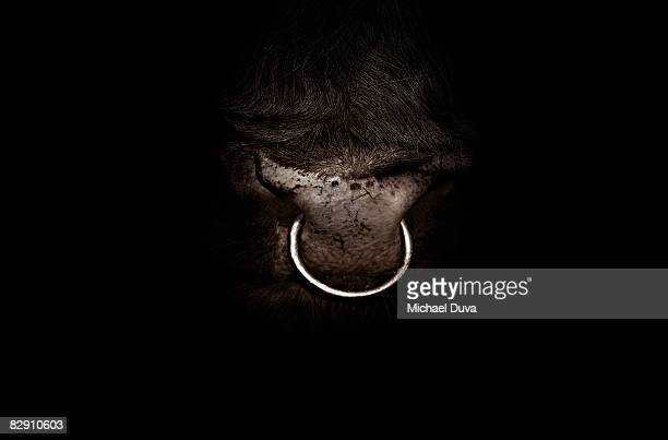 studio shot close up of bull nose ring - bull animal stock photos and pictures