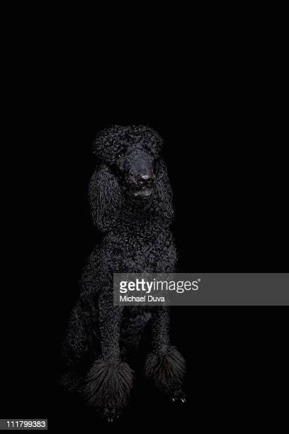 studio shot Dog black background, Standard Poodle