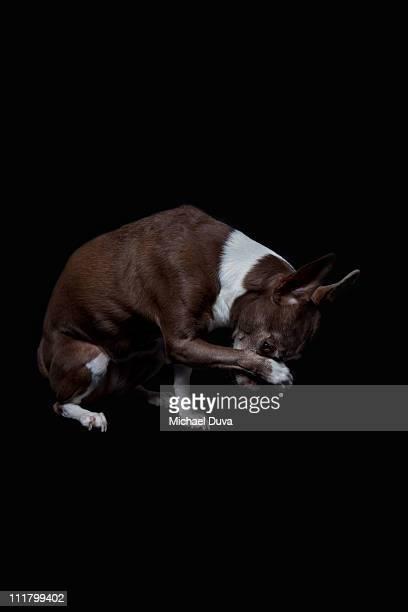 Studio Shot Dog on Black Background,