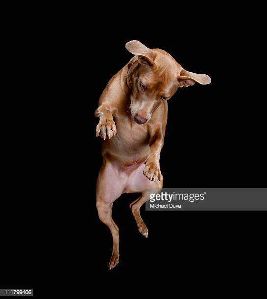 Studio Shot Dog on Black Background, Pit Bull
