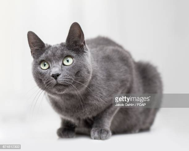 studio shot of a cat - russian blue cat stock pictures, royalty-free photos & images