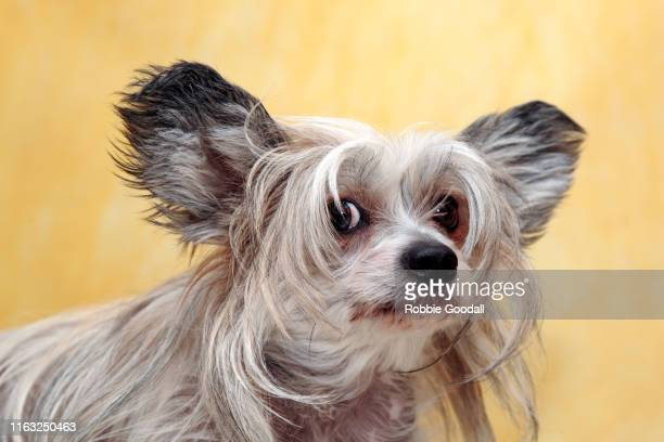 studio shot of a chinese crested dog looking at the camera on a yellow backdrop - highgate stock pictures, royalty-free photos & images