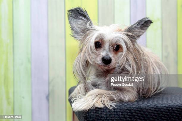studio shot of a chinese crested dog on a coloured backdrop - highgate ストックフォトと画像